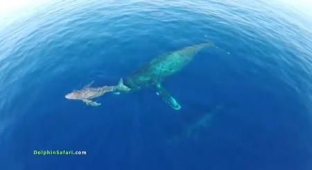 drones siguiendo a cetáceos
